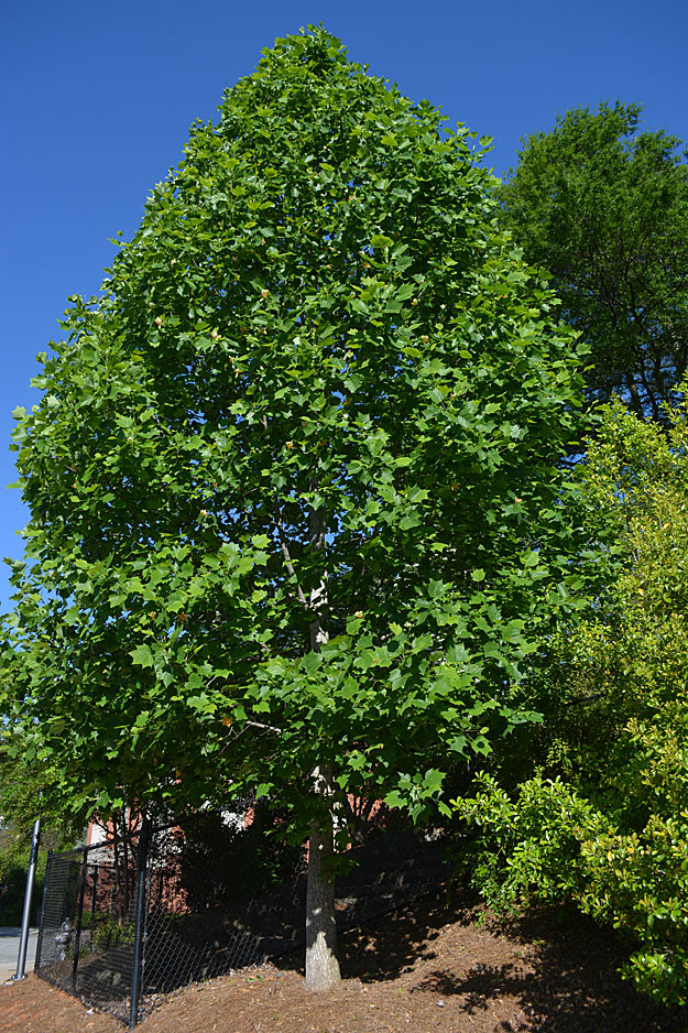Tulip poplar grown as specimen tree.