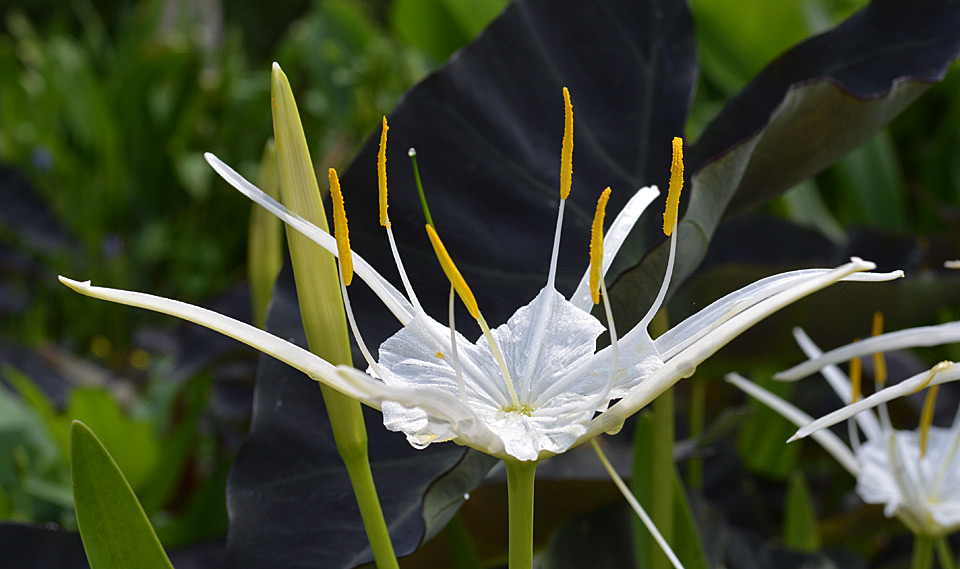 Florida spider lily