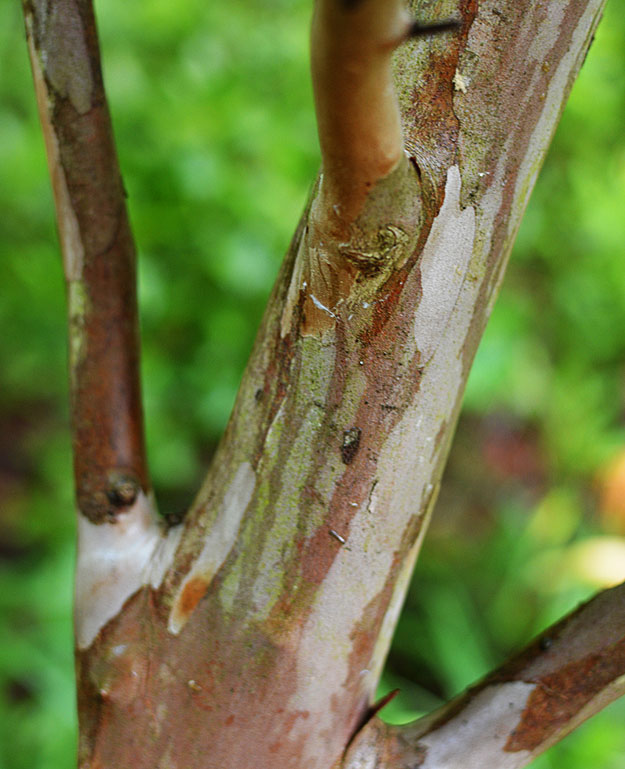 trees - exfoliating bark - Japanese stewartia