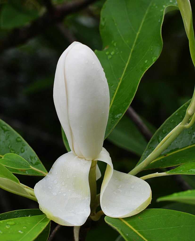 Sweet bay magnolia virginiana - native tree