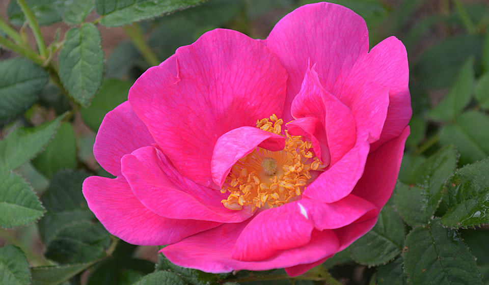 rosa gallica officinalis - rose gardening