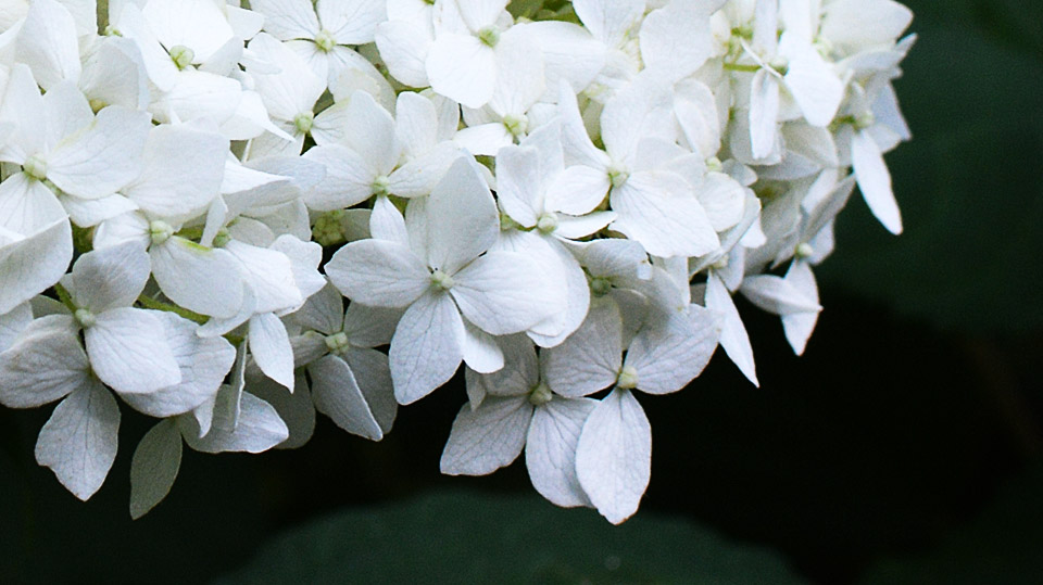 ryan gainey hydrangea