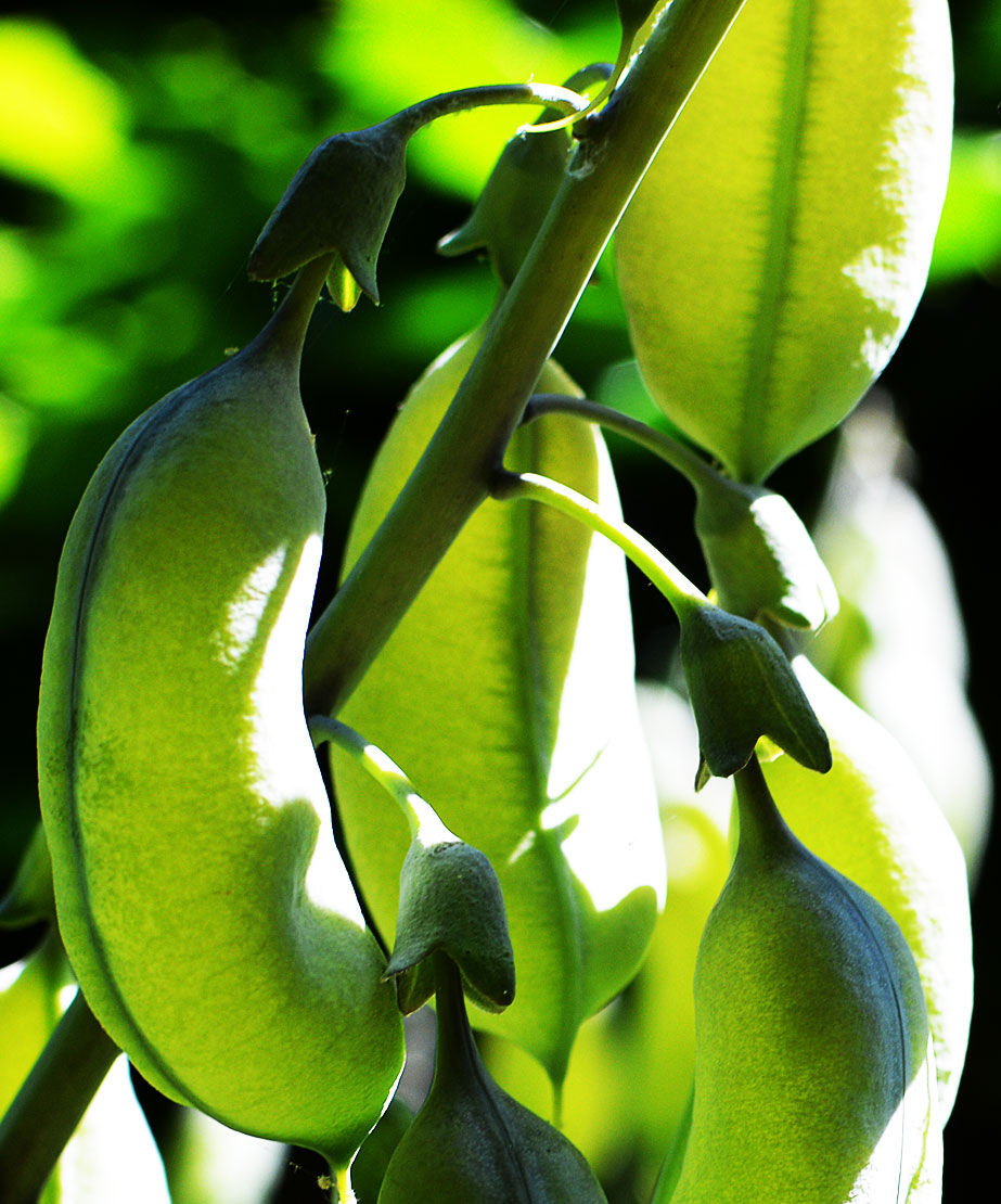 false indigo seed pods