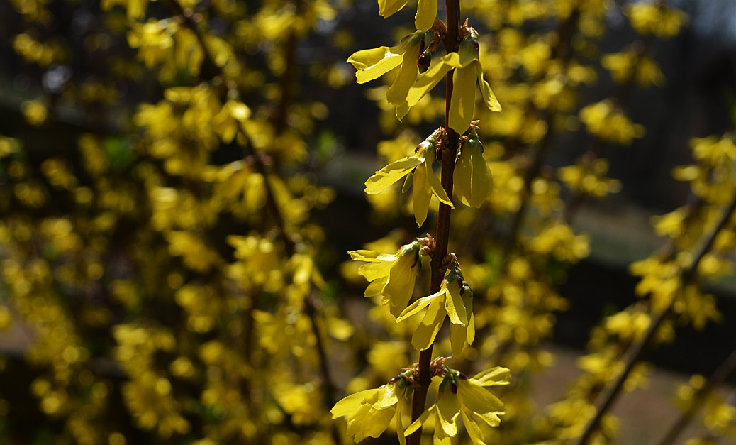 forsythia flower