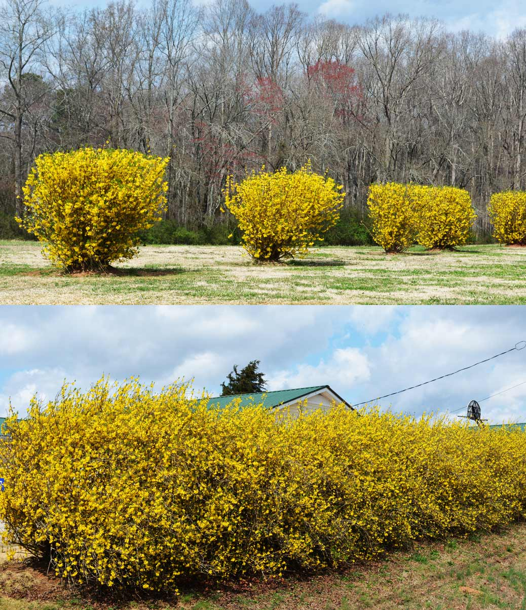 Forsythia as splendid informal hedge (bottom). Branching/leaf size/density do not lend to tight pruning.