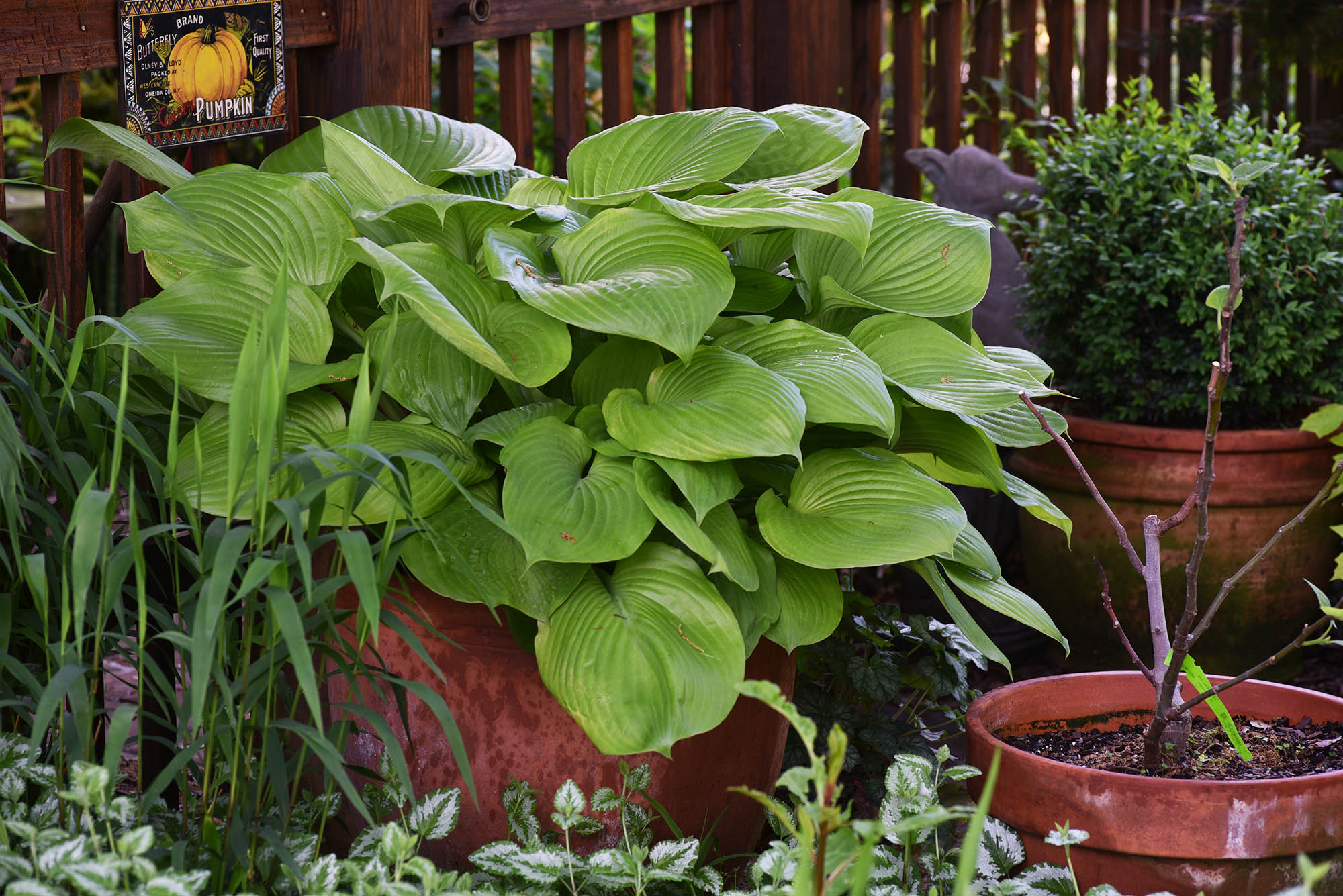 sum and substance hosta in container