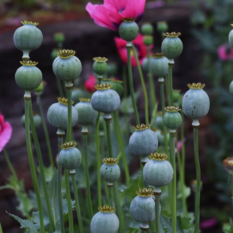 poppies, papavar seed pods