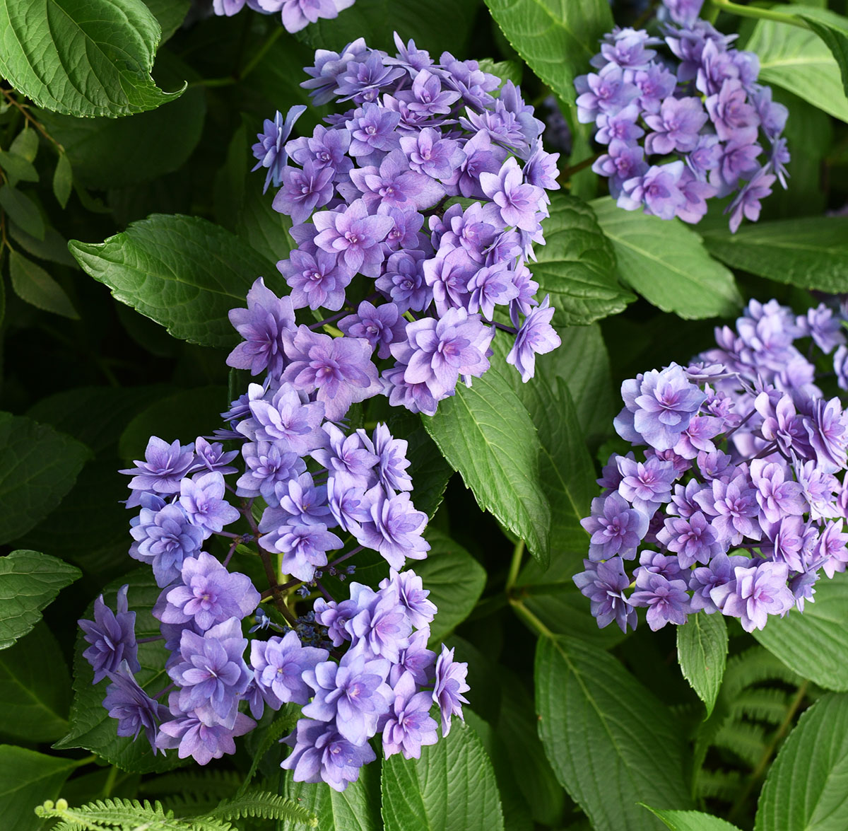 Doublicious hydrangea is marketed as a pink hydrangea but in the Piedmont region of Georgia, purple or blue flowers are inevitable when it comes to the macrophyllas.