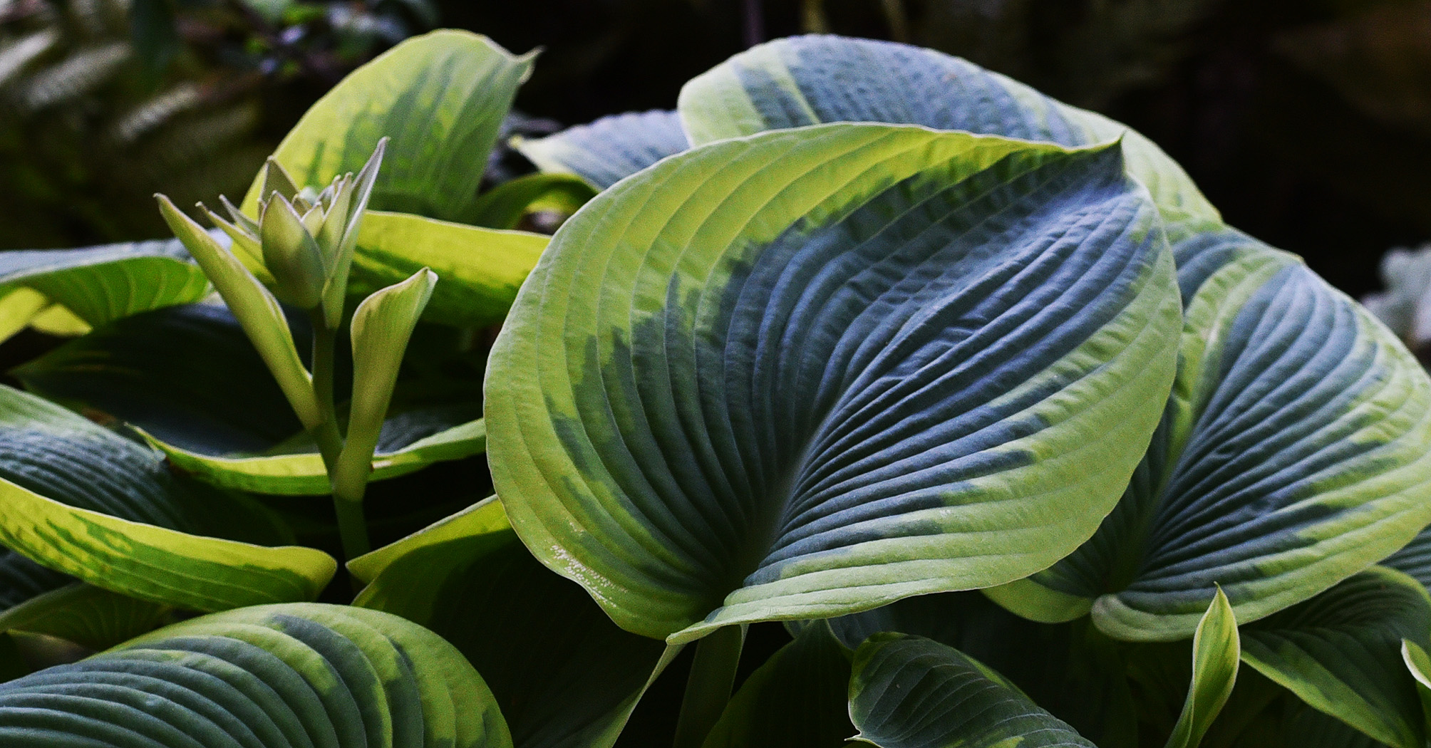 Francis Williams Hosta leaf