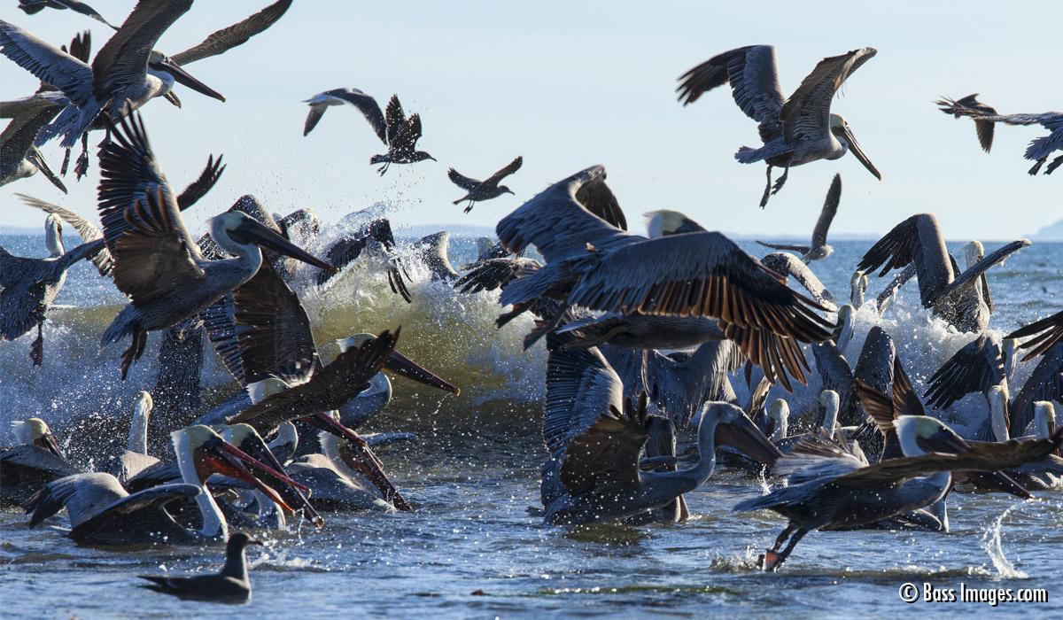 Pelican Frenzy