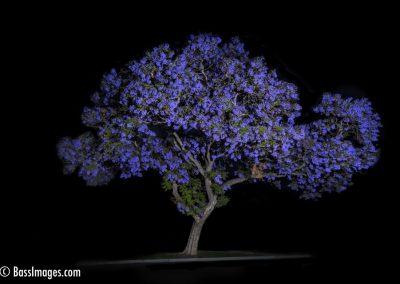 Jacaranda-29 night-2