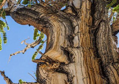 Bristlecone pines -12