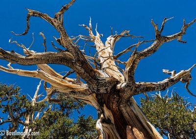 Bristlecone pines -39