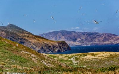 Western Seagulls of Anacapa Island