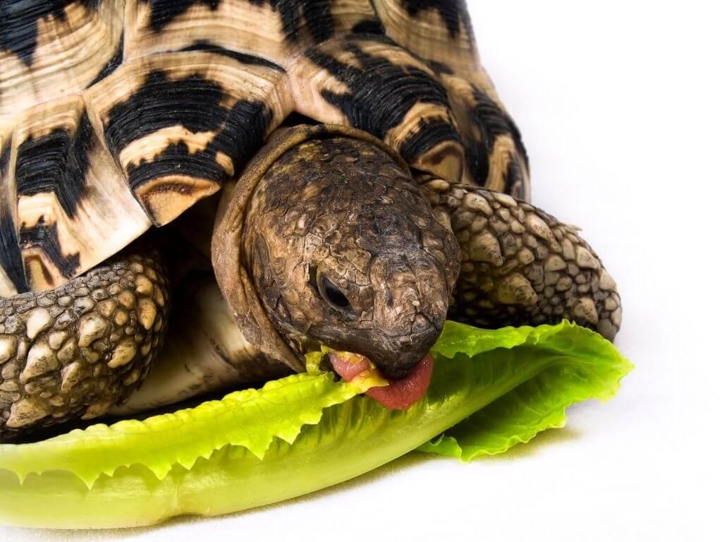 Turtle eating lettuce