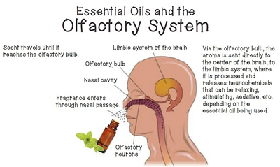 Essential-Oils-and-the-Brain-