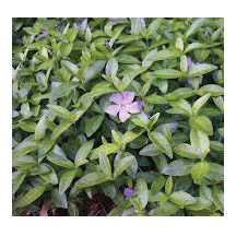 Groundcovers link