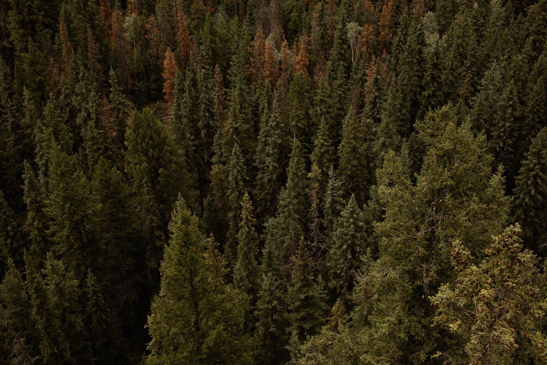 jasper trees