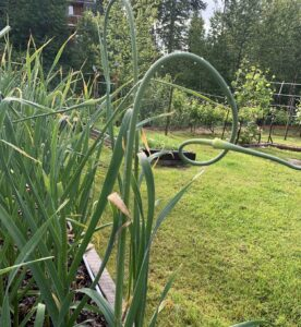 Garlic Scapes – that early summer treat