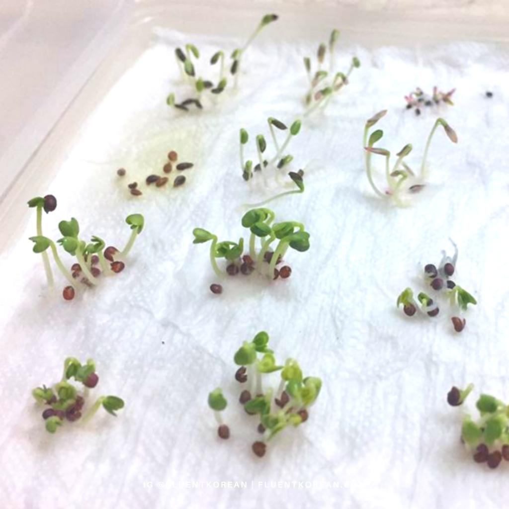 Germinating seeds using the paper towel method