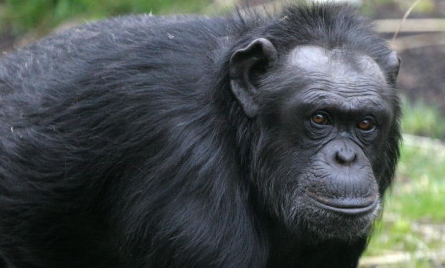Legalmente un chimpancé