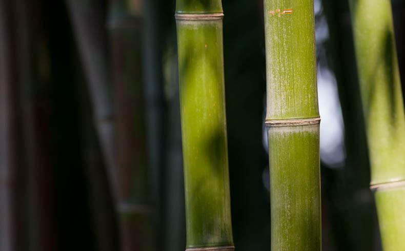 La enseñanza de la caña de Bambú