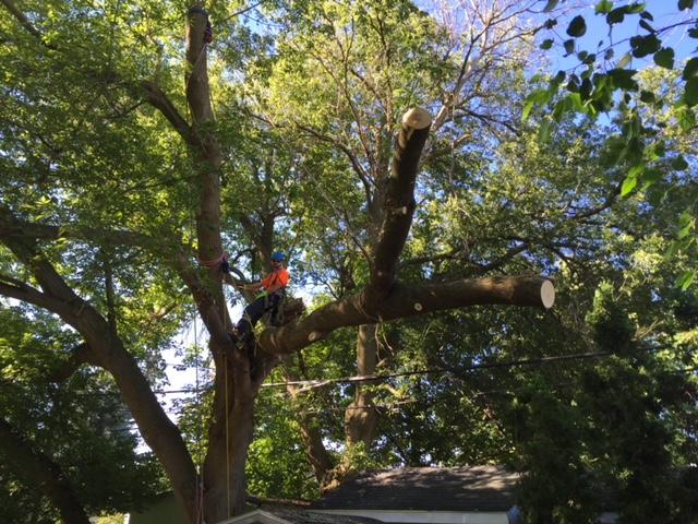 Limbwalker Tree Service London Area Professional Arborists