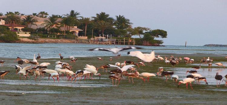 Birds_Feeding_Grass_Beds_Sand_Bar_04-2012.jpg