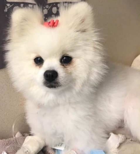 Fast action by emergency vets saved this miniature Pomeranian, Pandora, from microcystin poisoning