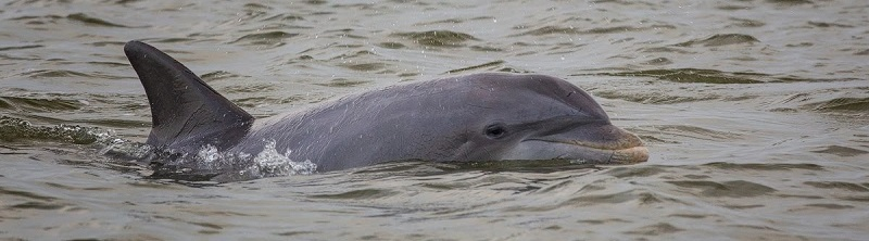 St. Lucie dolphin. Emily Mauri photo.