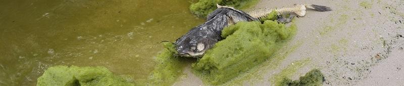 Cyanobacteria washes ashore