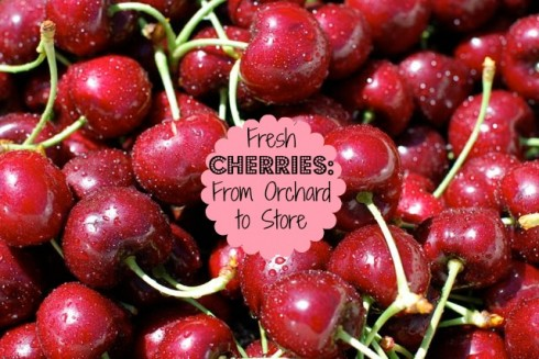 Fresh Cherries from Orchard to Store