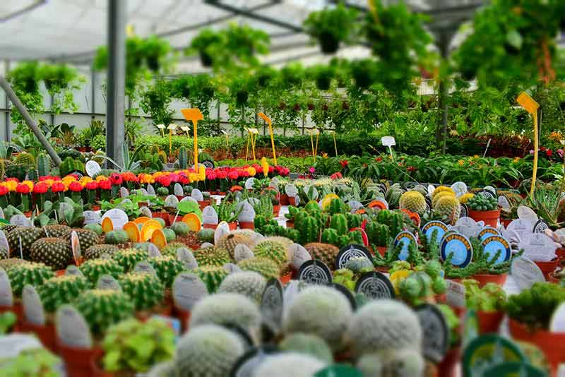 Image of potted plants for sale in green house