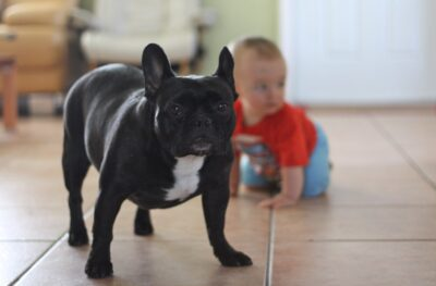 a black and white french bulldog puppy on the floor with a child