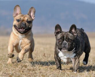 A Guide to French Bulldog Noises