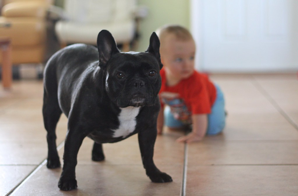 a child interacting with a french bulldog on the floor