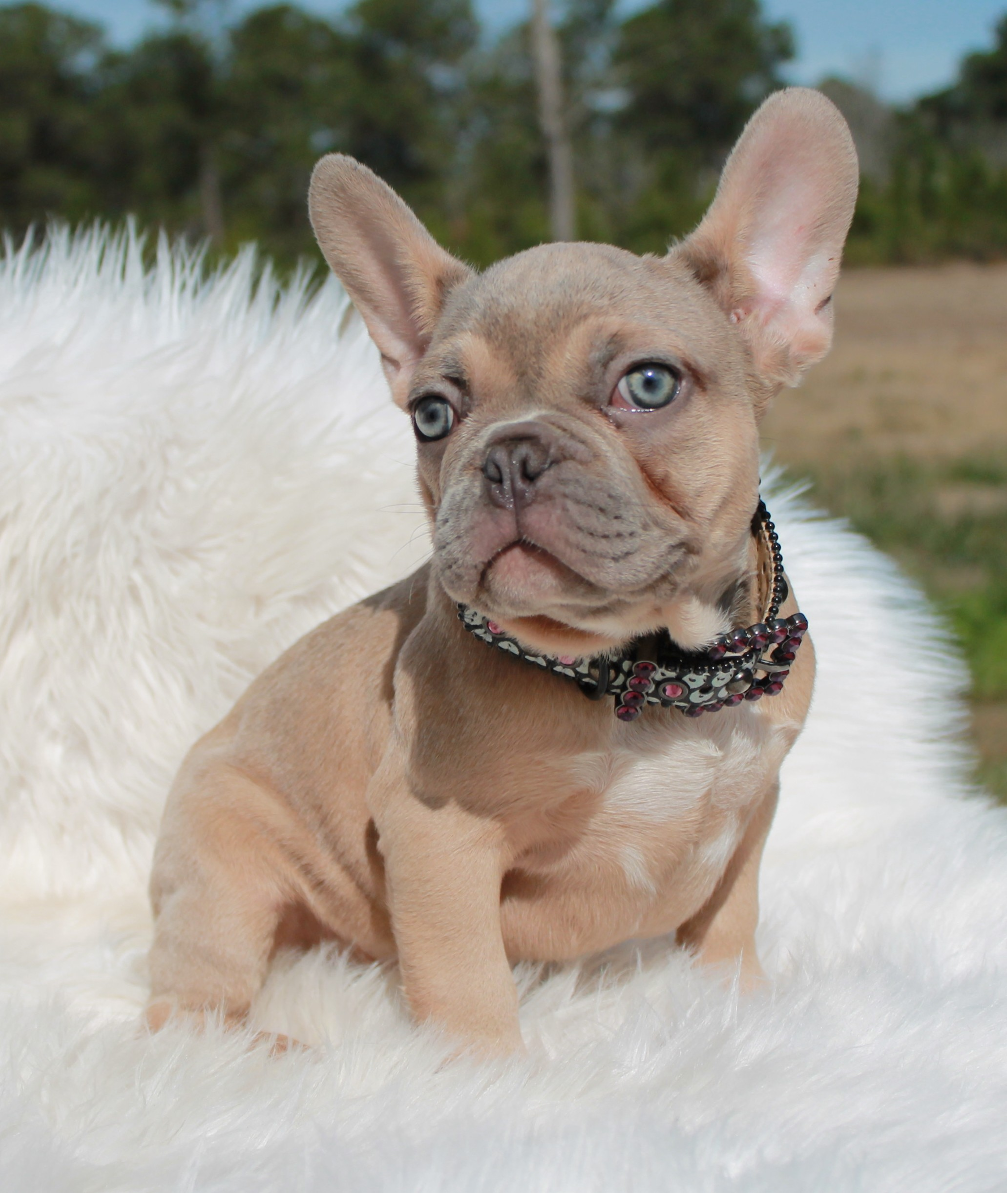 Male – lilac fawn male-pet price