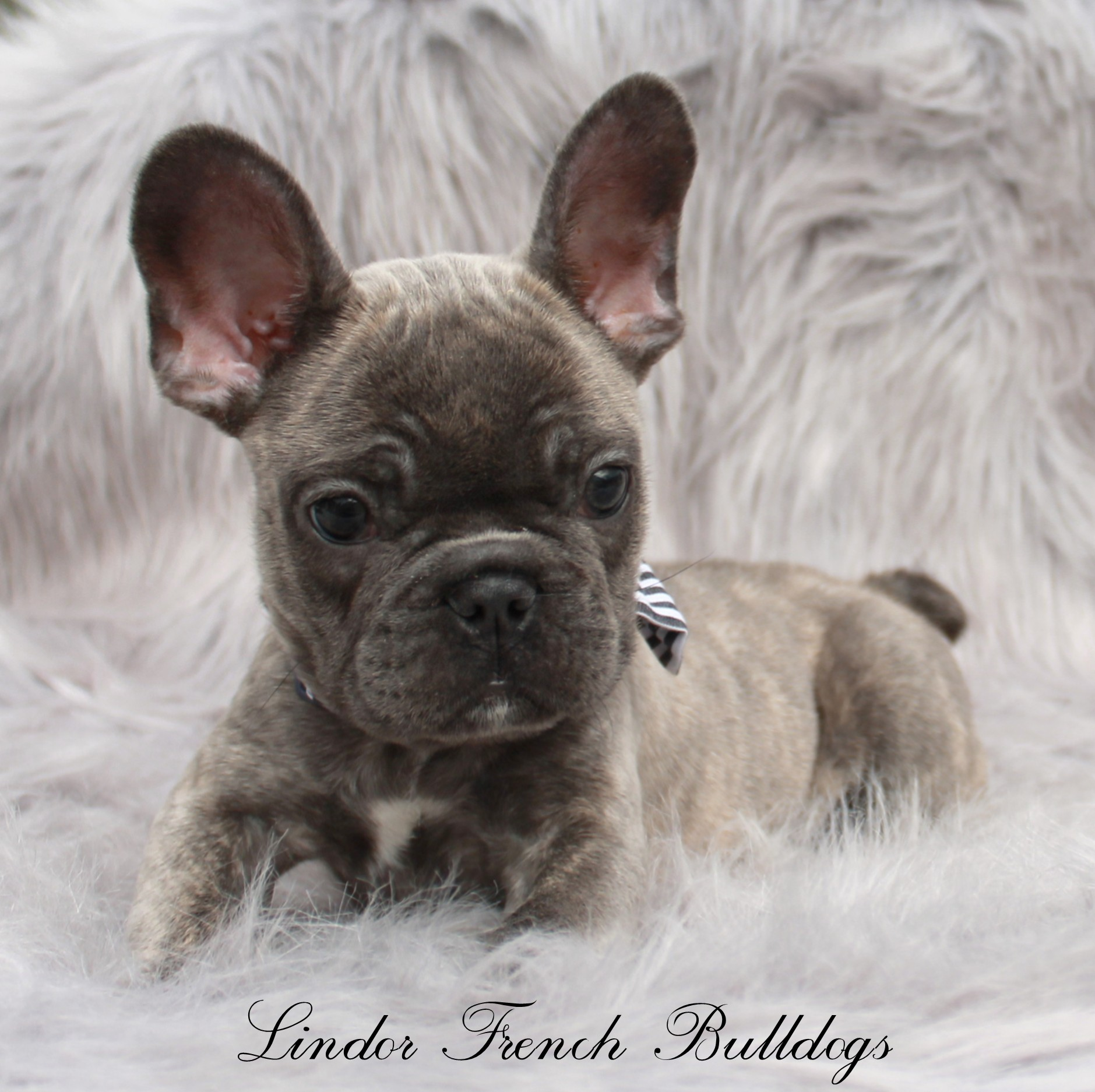 Male – Blue Brindle – Pet Price