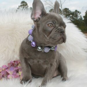 Lilac And Tan Bulldog Puppies For Sale Lindor French Bulldogs