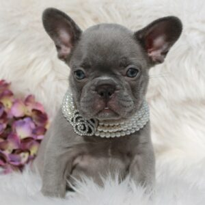 Lilac Brindle French Bulldog Puppies For Sale Lindor
