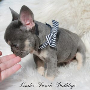 Lilac And Tan French Bulldog Puppies For Sale Lindor