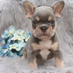lilac and tan french bulldog puppy sitting on a soft gray rug with flowers in the back