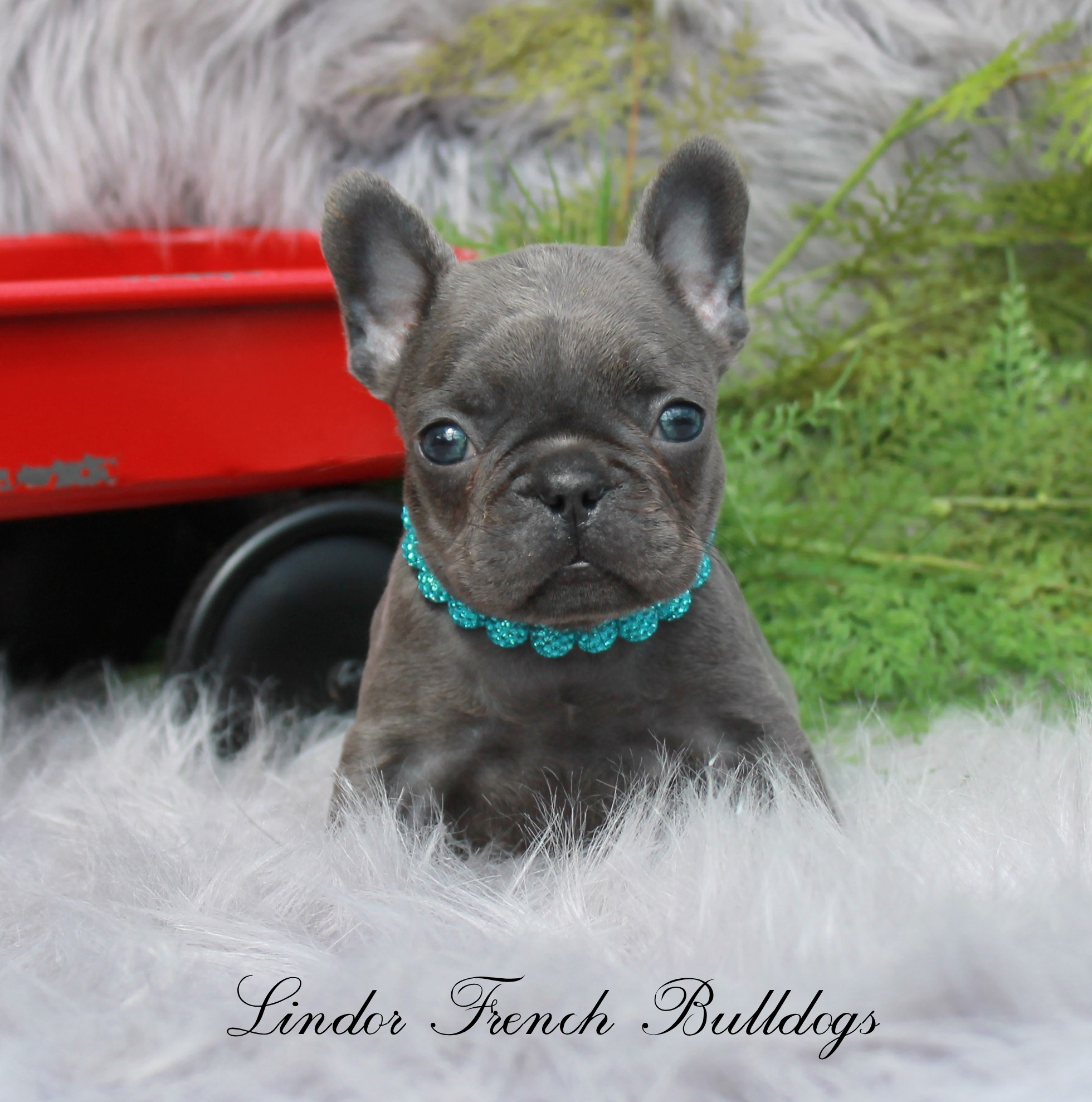 solid blue french bulldog puppy sitting on a fuzzy rug wearing a blue collar