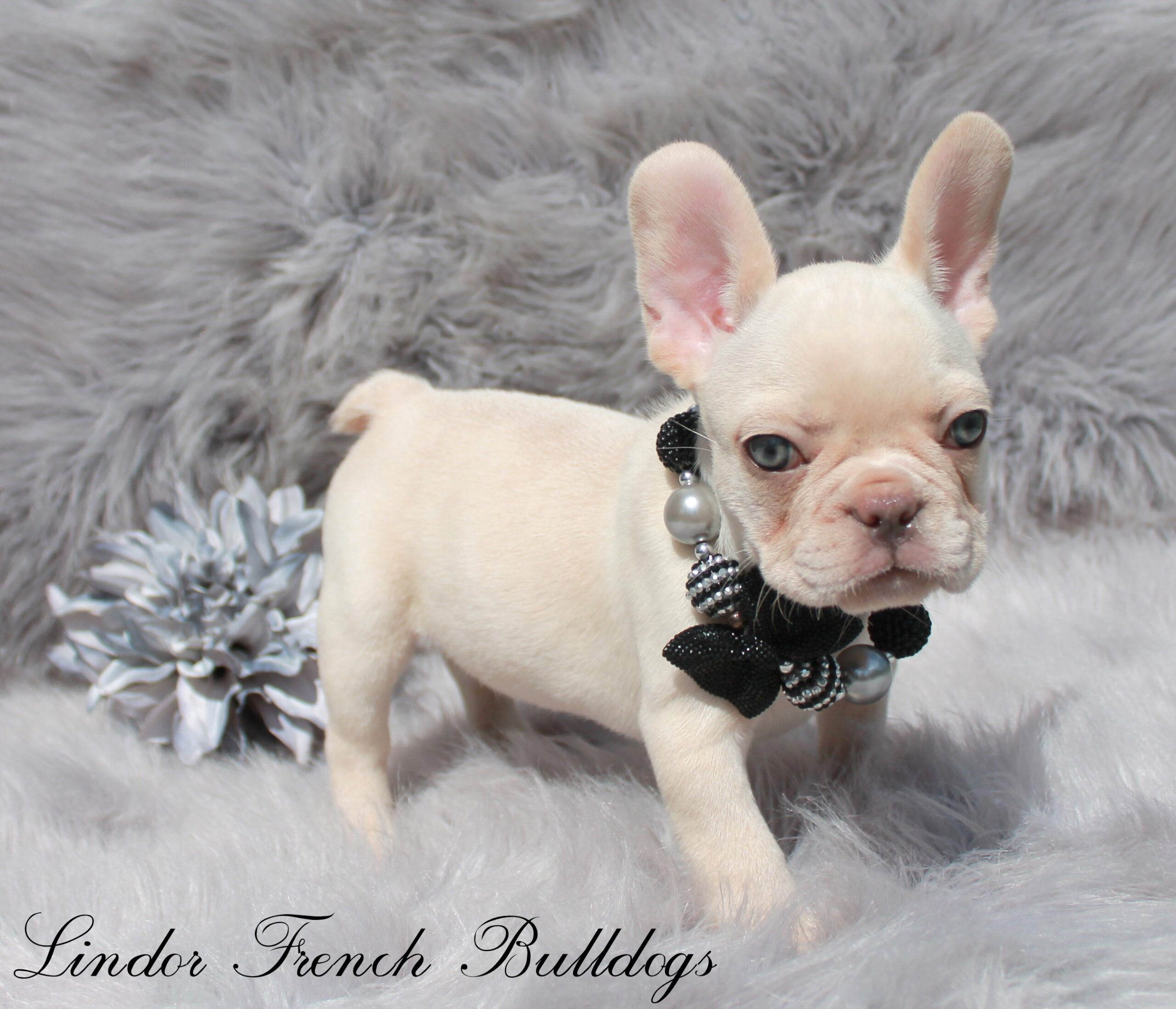 Male – rare LILAC & TAN  platinum!! with breeding rights