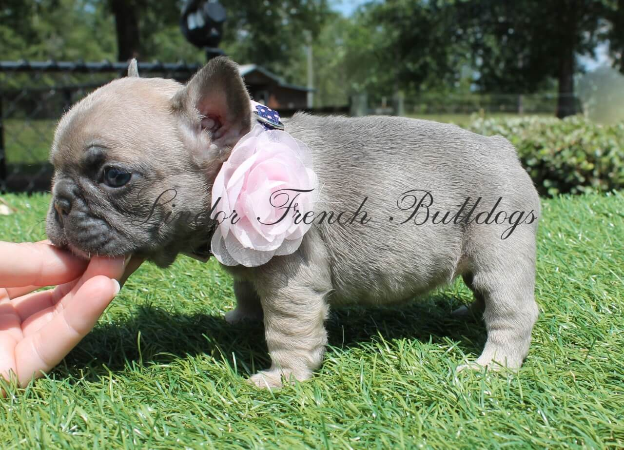 Female – Mini French Bulldog Puppy