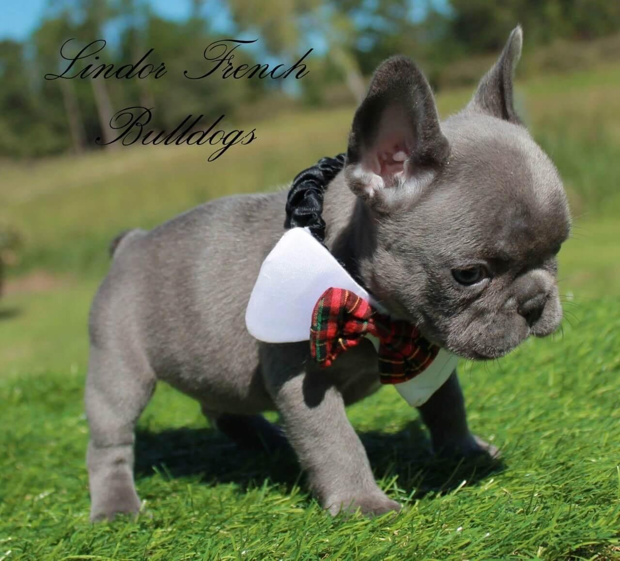 Male – Mini French Bulldog Puppy