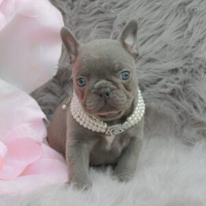 solid lilac french bulldog