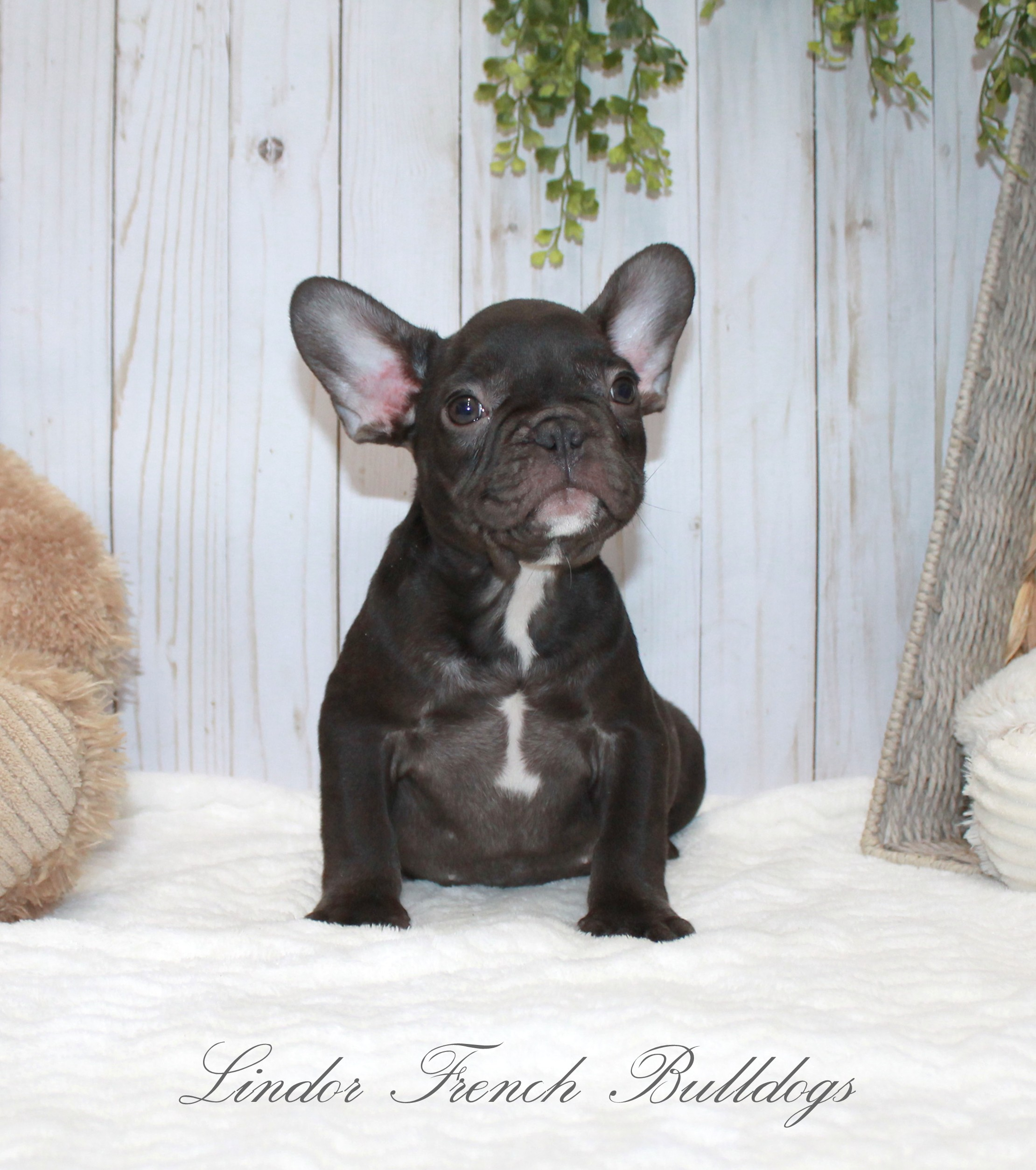 Male- solid chocolate-Pet price. breeding rights additional