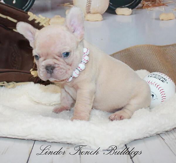 maskless lilac fawn french bulldog