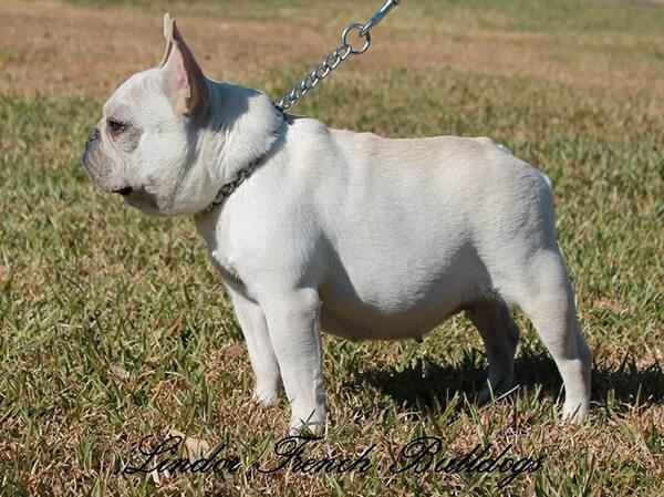 Mini french bulldog from Lindor